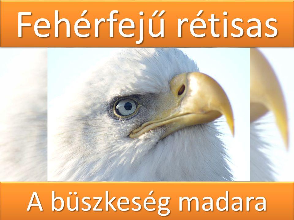 Fehérfejű rétisas A büszkeség madara