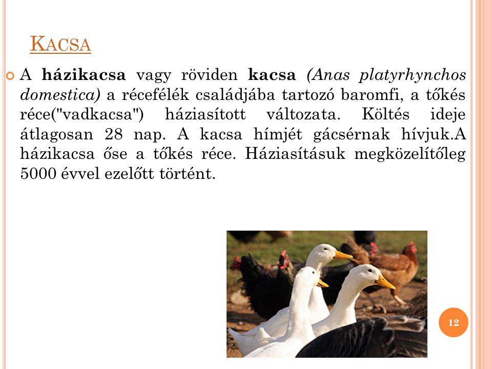 K ACSA A házikacsa vagy röviden kacsa (Anas platyrhynchos domestica) a récefélék családjába tartozó baromfi, a tőkés réce(