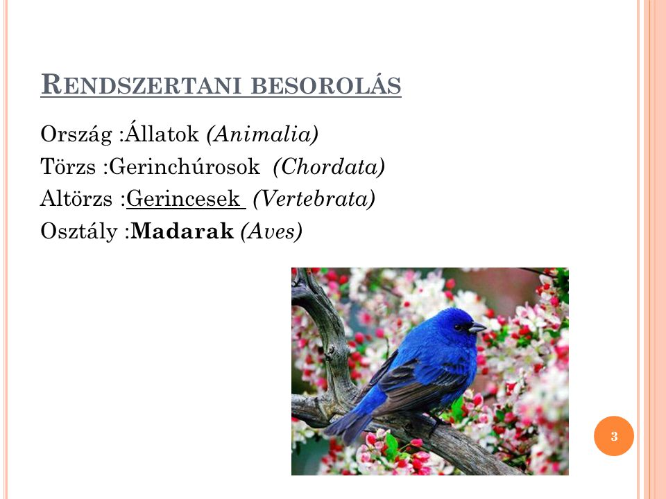 R ENDSZERTANI BESOROLÁS Ország :Állatok (Animalia) Törzs :Gerinchúrosok (Chordata) Altörzs :Gerincesek (Vertebrata) Osztály : Madarak (Aves) 3