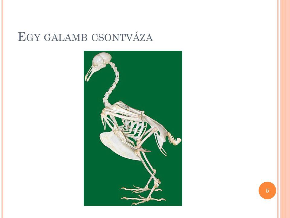 I ZOMZAT A madarak szárnyát hatalmas méretű mellizmok mozgatják, amelyek a szegycsont taraján tapadnak meg.
