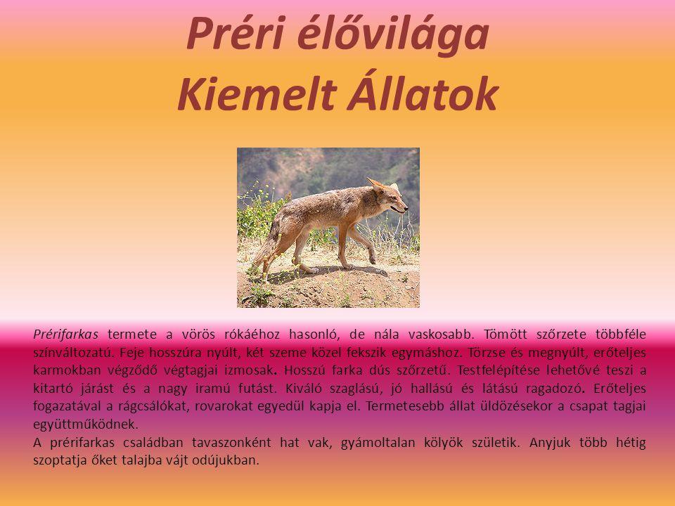 Préri élővilága Kiemelt Állatok Prérifarkas termete a vörös rókáéhoz hasonló, de nála vaskosabb. Tömött szőrzete többféle színváltozatú. Feje hosszúra