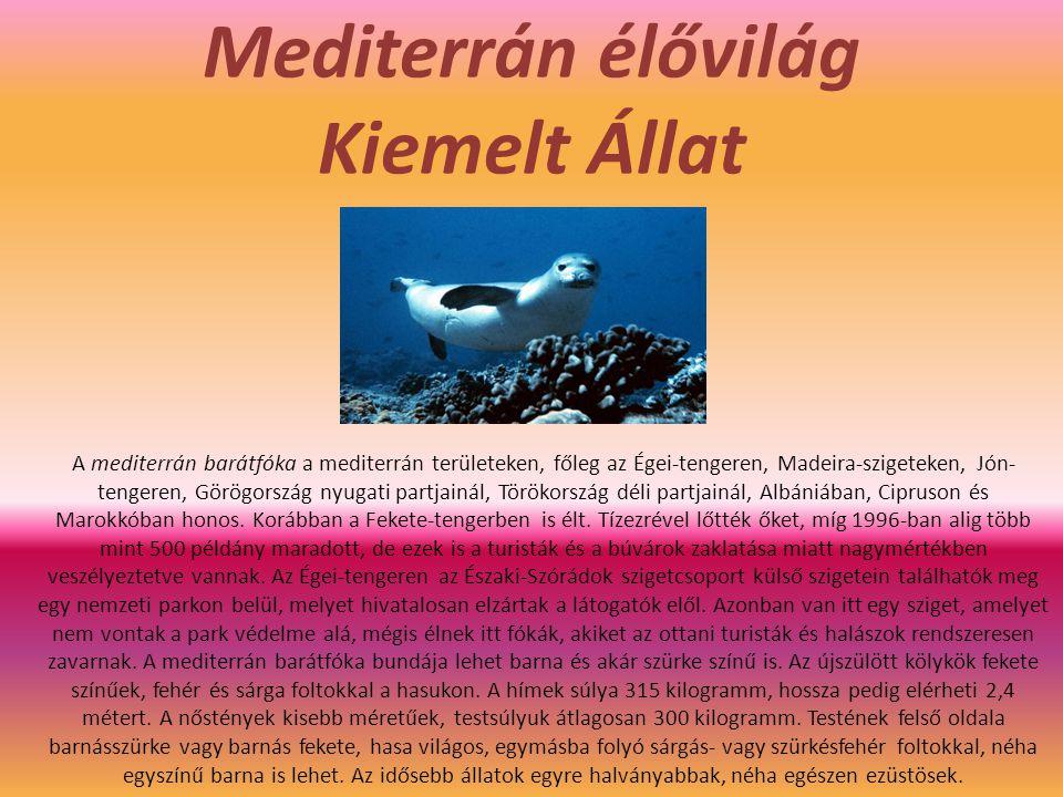 Mediterrán élővilág Kiemelt Állat A mediterrán barátfóka a mediterrán területeken, főleg az Égei-tengeren, Madeira-szigeteken, Jón- tengeren, Görögország nyugati partjainál, Törökország déli partjainál, Albániában, Cipruson és Marokkóban honos.