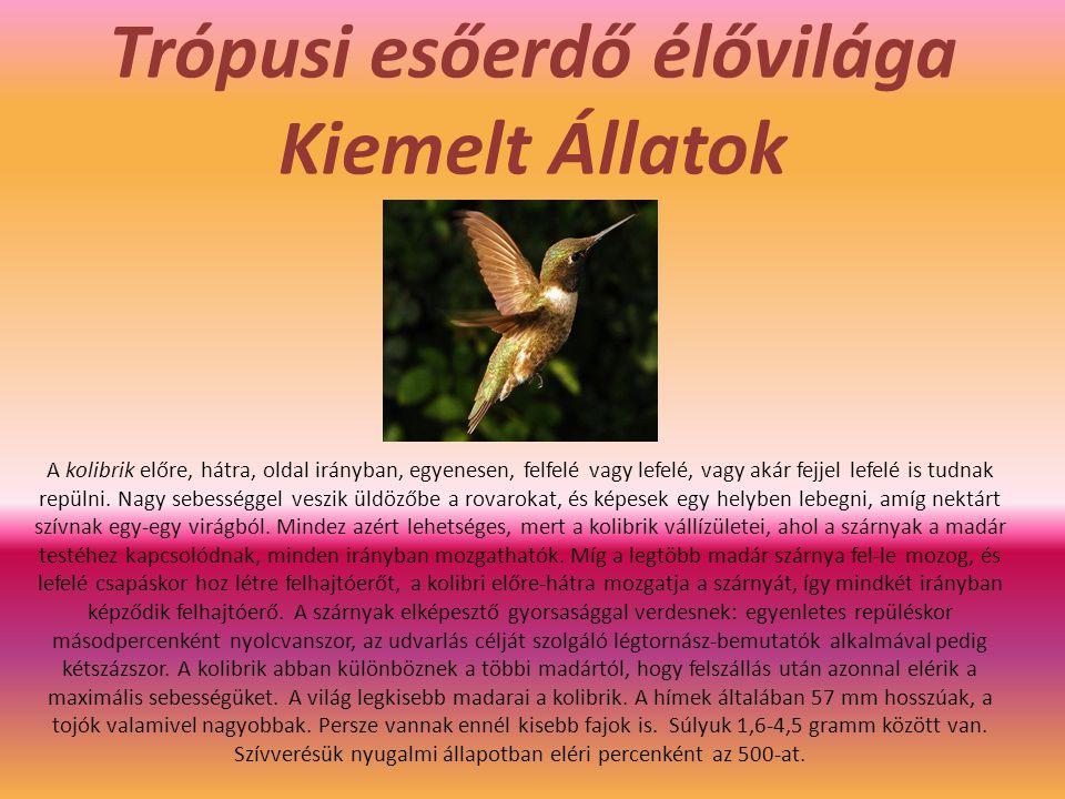 Trópusi esőerdő élővilága Kiemelt Állatok A kolibrik előre, hátra, oldal irányban, egyenesen, felfelé vagy lefelé, vagy akár fejjel lefelé is tudnak r