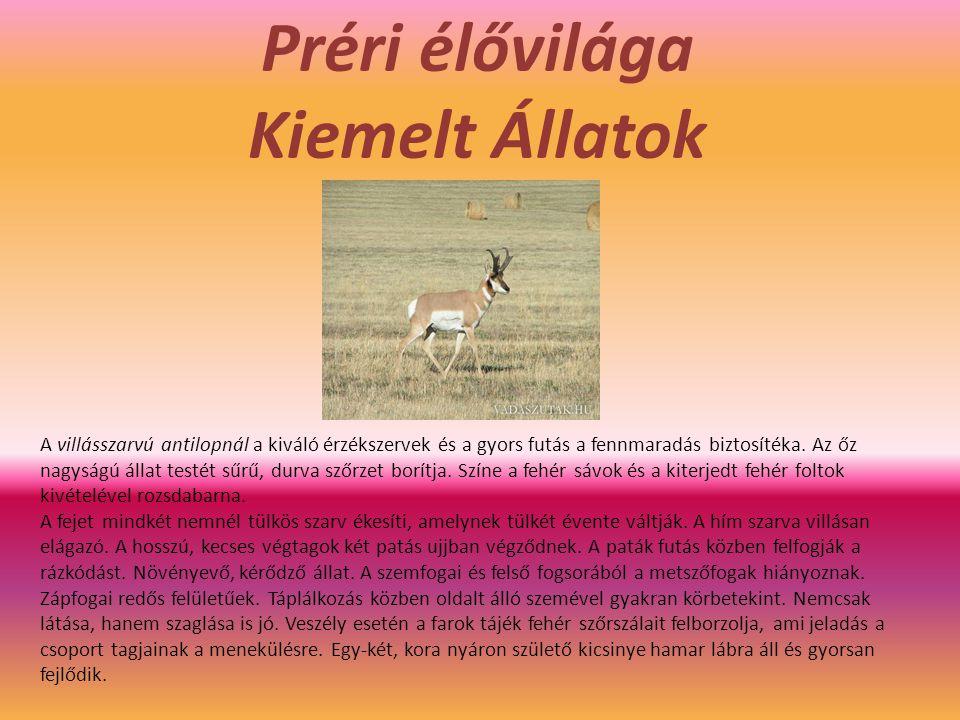 Préri élővilága Kiemelt Állatok A villásszarvú antilopnál a kiváló érzékszervek és a gyors futás a fennmaradás biztosítéka.