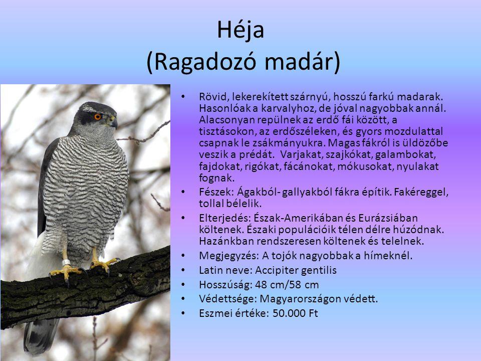 Héja (Ragadozó madár) Rövid, lekerekített szárnyú, hosszú farkú madarak. Hasonlóak a karvalyhoz, de jóval nagyobbak annál. Alacsonyan repülnek az erdő