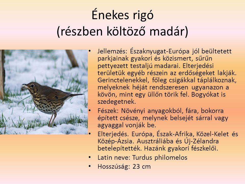 Énekes rigó (részben költöző madár) Jellemzés: Északnyugat-Európa jól beültetett parkjainak gyakori és közismert, sűrűn pettyezett testaljú madarai. E