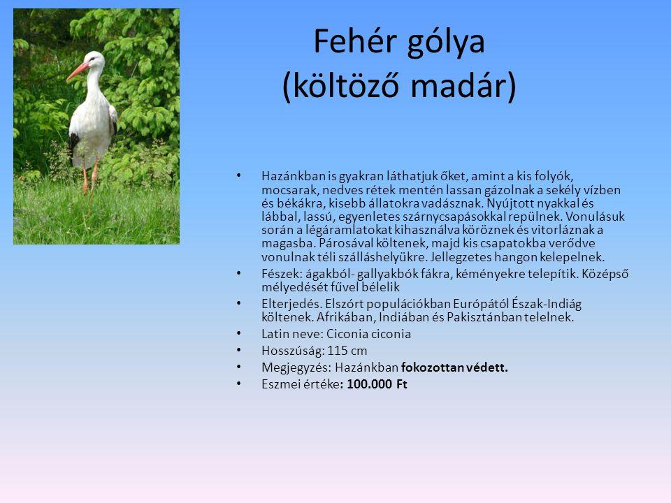Fehér gólya (költöző madár) Hazánkban is gyakran láthatjuk őket, amint a kis folyók, mocsarak, nedves rétek mentén lassan gázolnak a sekély vízben és