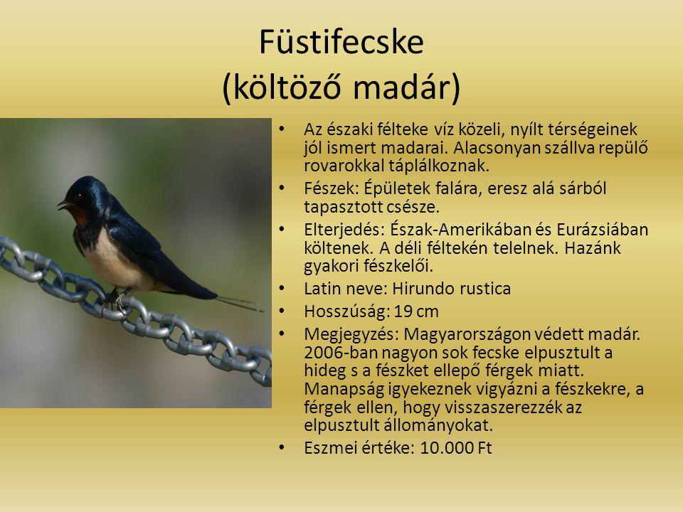 Füstifecske (költöző madár) Az északi félteke víz közeli, nyílt térségeinek jól ismert madarai. Alacsonyan szállva repülő rovarokkal táplálkoznak. Fés
