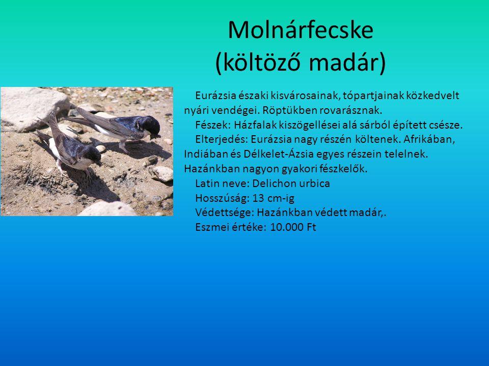 Molnárfecske (költöző madár) Eurázsia északi kisvárosainak, tópartjainak közkedvelt nyári vendégei. Röptükben rovarásznak. Fészek: Házfalak kiszögellé