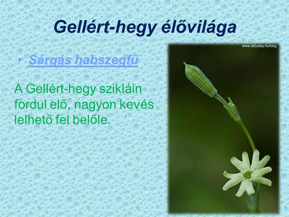 Sas-hegy élővilága Magyar gurgolya Fokozottan védett, ez a növény csak Magyarországon a Dunántúli-középhegységben fordul elő.
