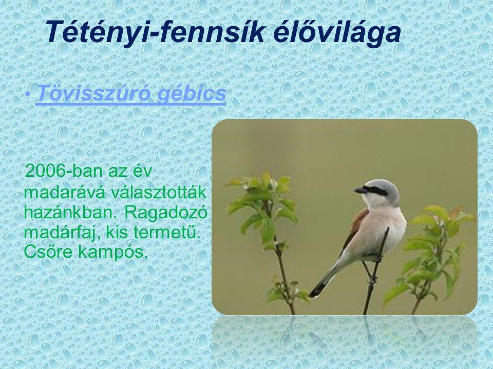 Tamariska-domb élővilága Budai imola Évelő növényfaj.