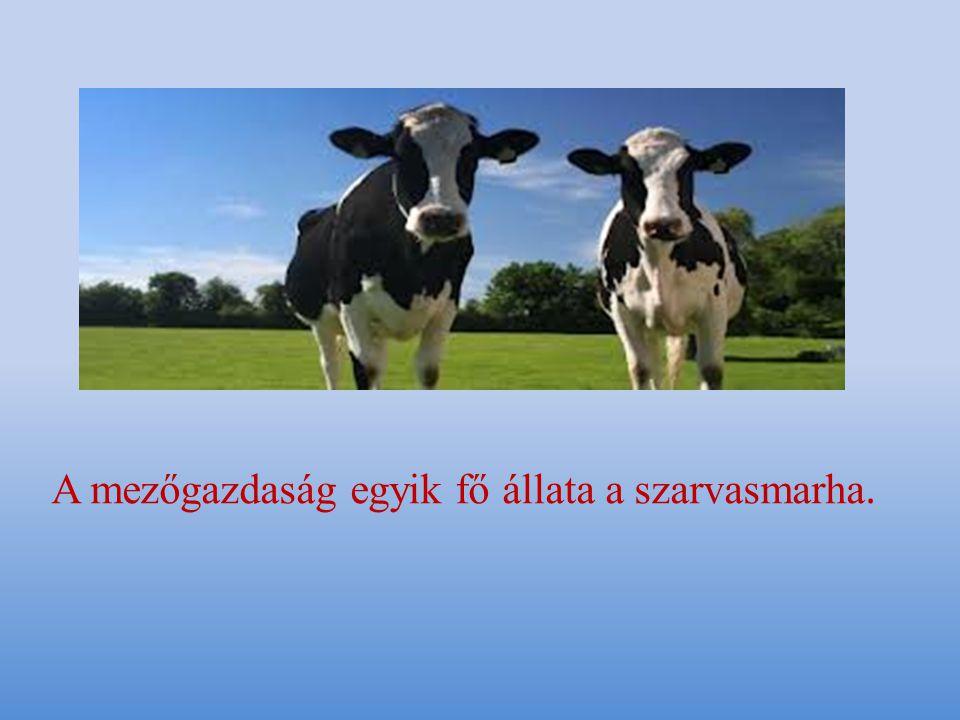 A mezőgazdaság egyik fő állata a szarvasmarha.