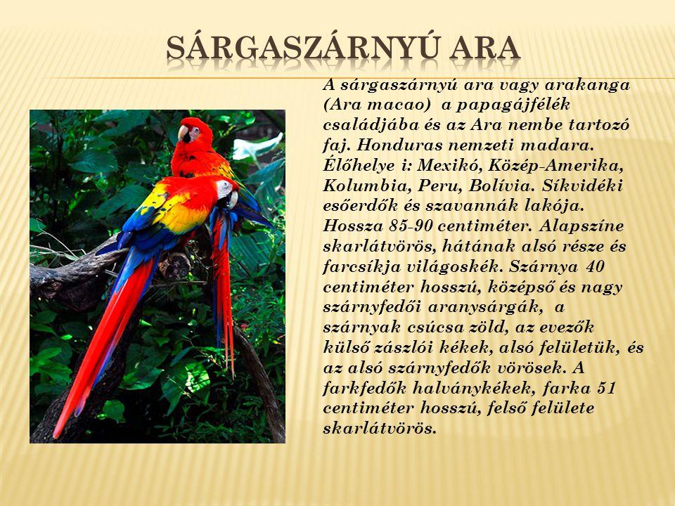 A sárgaszárnyú ara vagy arakanga (Ara macao) a papagájfélék családjába és az Ara nembe tartozó faj. Honduras nemzeti madara. Élőhelye i: Mexikó, Közép