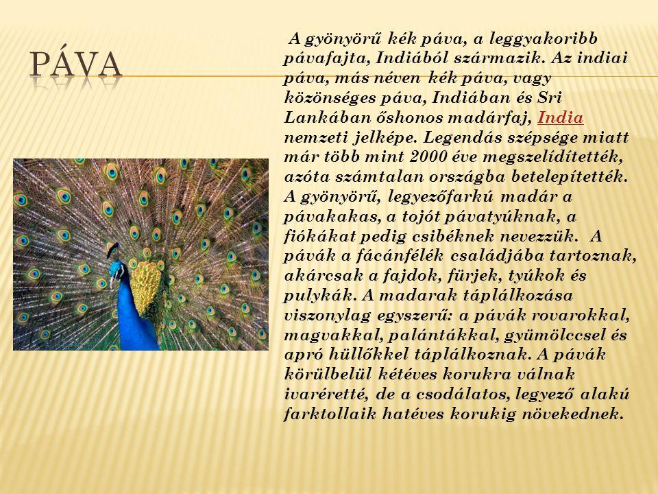 A gyönyörű kék páva, a leggyakoribb pávafajta, Indiából származik. Az indiai páva, más néven kék páva, vagy közönséges páva, Indiában és Sri Lankában