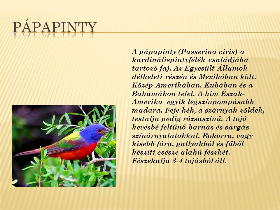 A pápapinty (Passerina ciris) a kardinálispintyfélék családjába tartozó faj. Az Egyesült Államok délkeleti részén és Mexikóban költ. Közép-Amerikában,