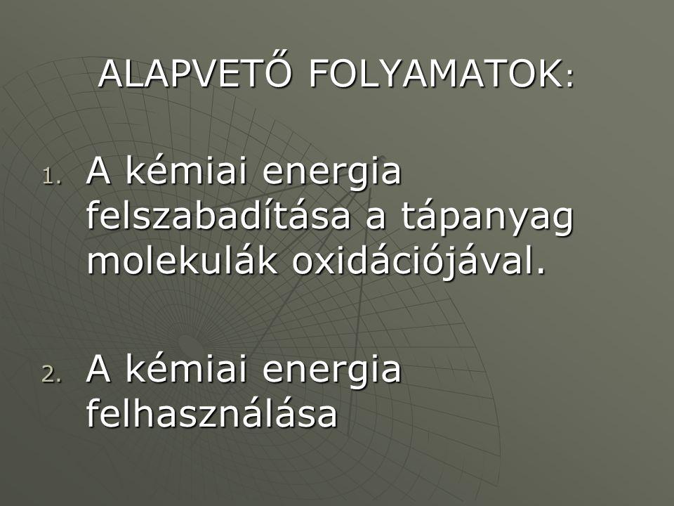 ALAPVETŐ FOLYAMATOK : 1. A kémiai energia felszabadítása a tápanyag molekulák oxidációjával. 2. A kémiai energia felhasználása