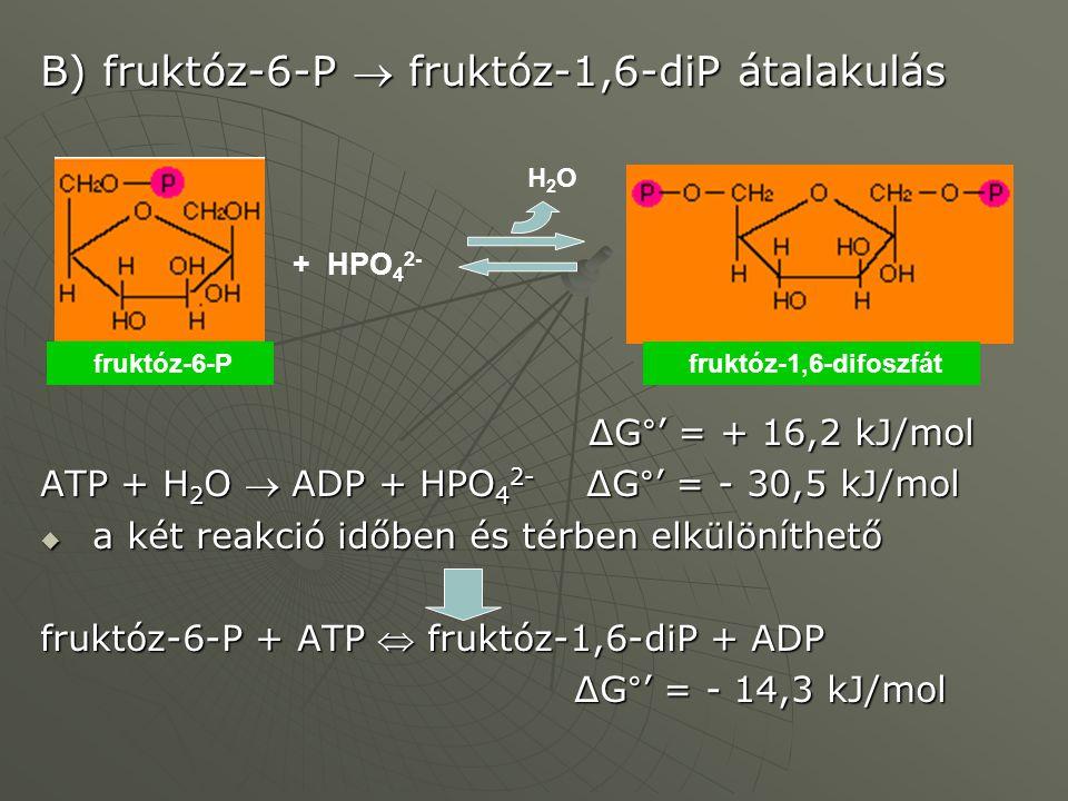 B) fruktóz-6-P  fruktóz-1,6-diP átalakulás ΔG°' = + 16,2 kJ/mol ΔG°' = + 16,2 kJ/mol ATP + H 2 O  ADP + HPO 4 2- ΔG°' = - 30,5 kJ/mol  a két reakci