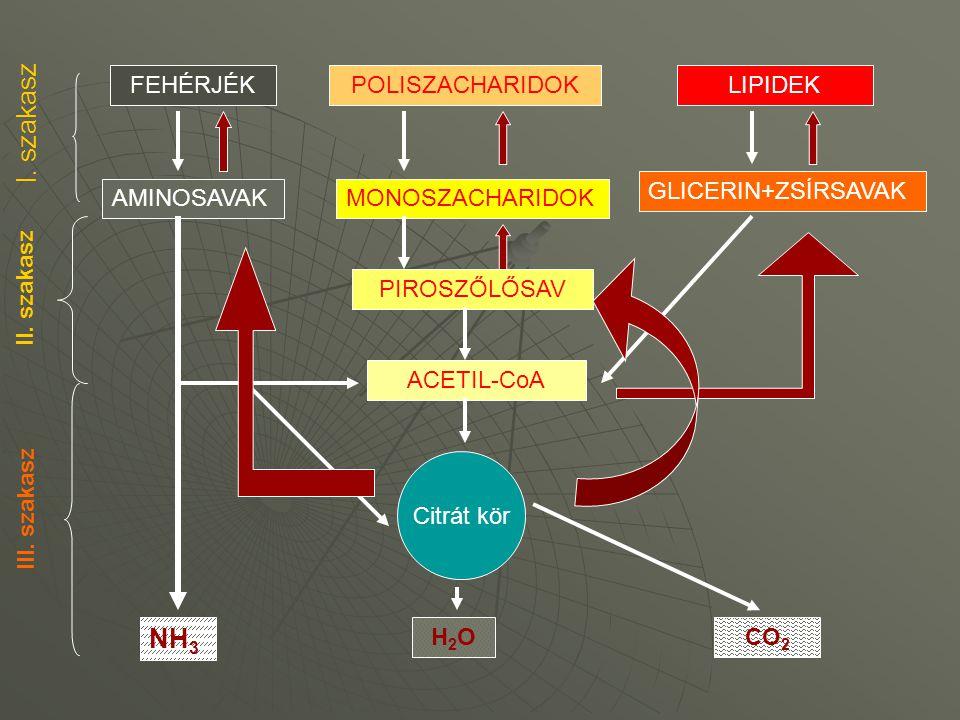 FEHÉRJÉKPOLISZACHARIDOKLIPIDEK AMINOSAVAKMONOSZACHARIDOK GLICERIN+ZSÍRSAVAK PIROSZŐLŐSAV ACETIL-CoA Citrát kör H2OH2O NH 3 CO 2 I. szakasz II. szakasz