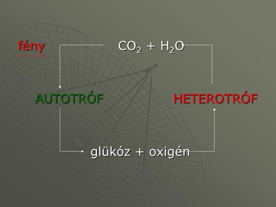 fény CO 2 + H 2 O AUTOTRÓFHETEROTRÓF glükóz + oxigén