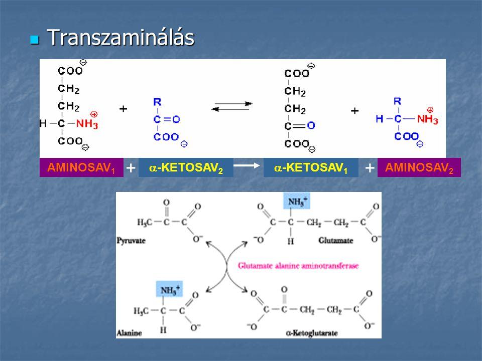 Transzaminálás Transzaminálás AMINOSAV 1 +  -KETOSAV 2  -KETOSAV 1 AMINOSAV 2 +