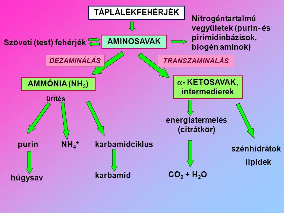 TÁPLÁLÉKFEHÉRJÉK AMINOSAVAK AMMÓNIA (NH 3 )  - KETOSAVAK, intermedierek ürítés húgysav NH 4 + karbamidciklus karbamid energiatermelés (citrátkör) szé