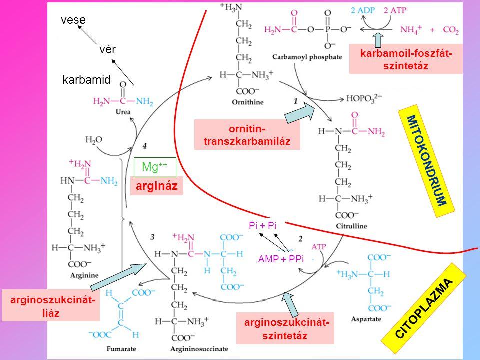 karbamoil-foszfát- szintetáz ornitin- transzkarbamiláz MITOKONDRIUM CITOPLAZMA arginoszukcinát- szintetáz arginoszukcinát- liáz AMP + PPi Pi + Pi karb