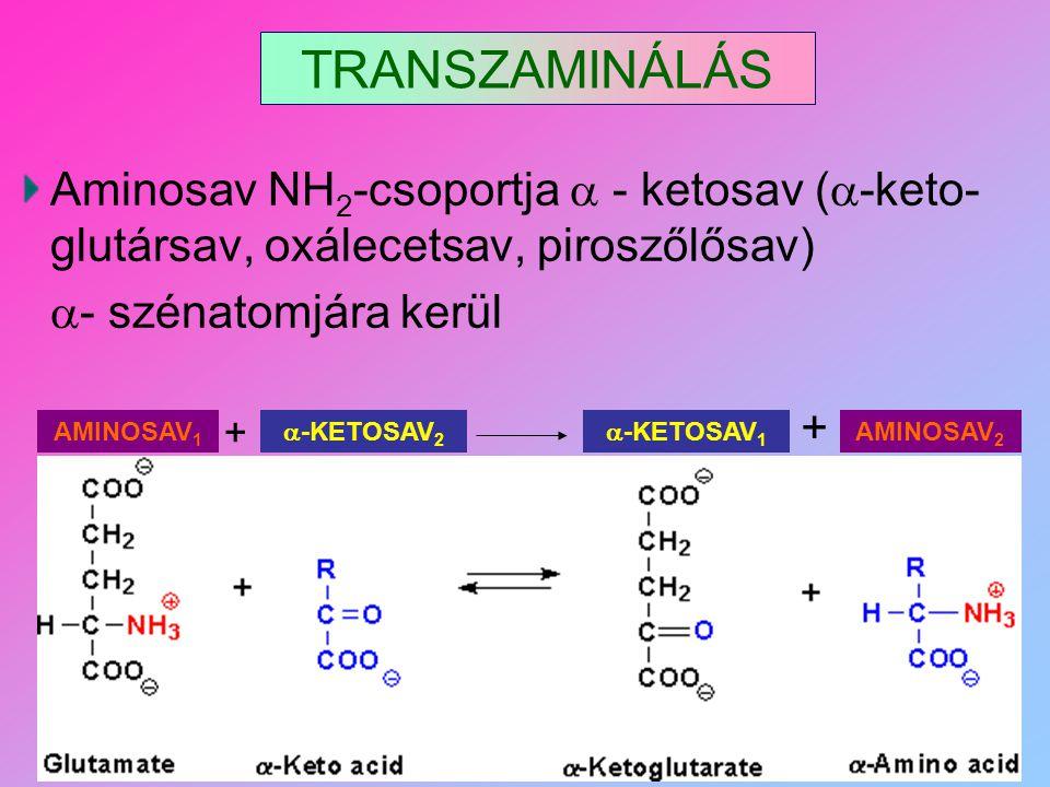 TRANSZAMINÁLÁS Aminosav NH 2 -csoportja  - ketosav (  -keto- glutársav, oxálecetsav, piroszőlősav)  - szénatomjára kerül  -KETOSAV 2 + AMINOSAV 1