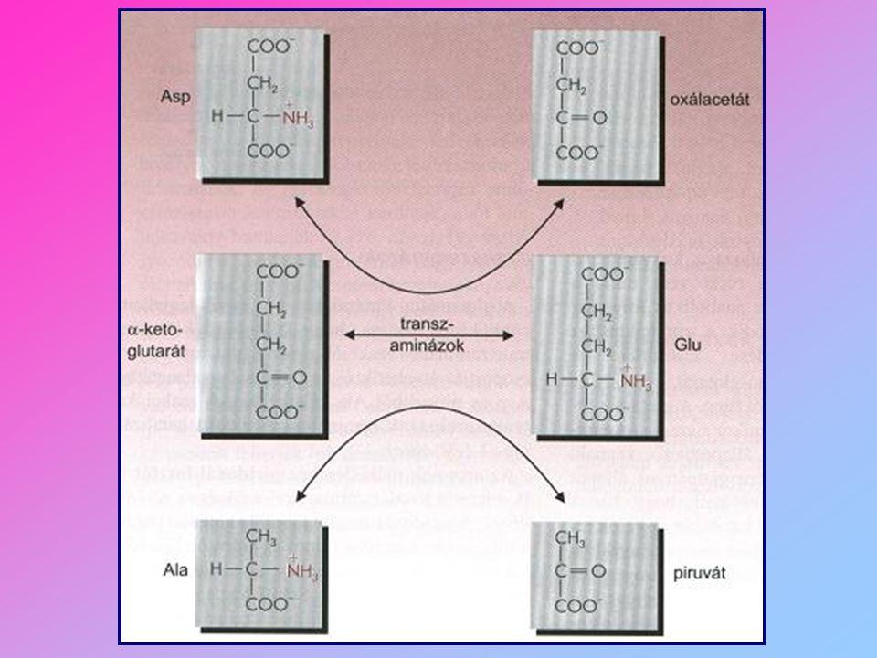 1. Piroszőlősavvá bomló aminosavak treonin glicin szerin piroszőlősav Acetil - CoA cisztein alanin