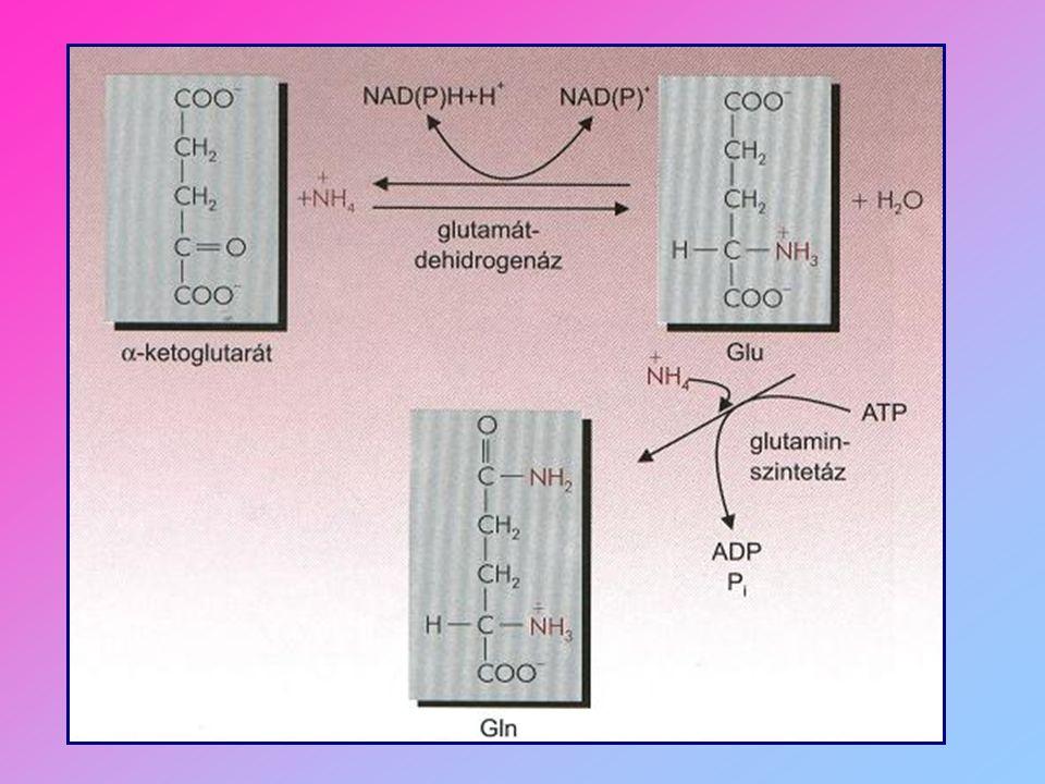 a folyamatokat TRANSZAMINÁZ enzimek katalizálják Májban és szívben működnek GOT = glutaminsav-oxálacetát-transzamináz AST : aszpartát-aminotranszferáz GPT = glutaminsav-piruvát-transzamináz ALT : alanin-aminotranszferáz