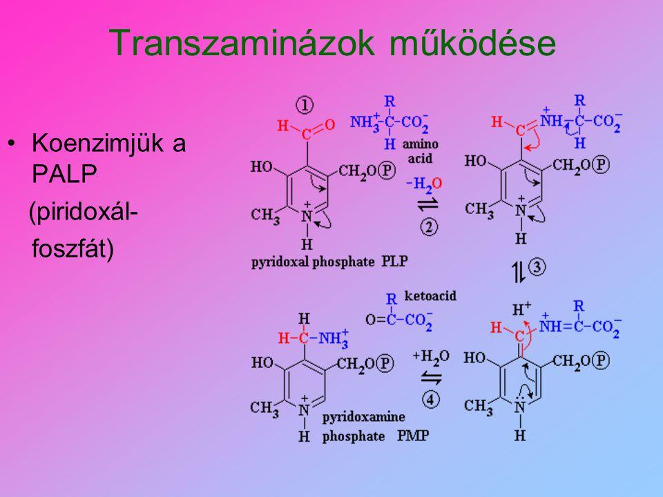 OXIDATÍV DEZAMINÁLÁS Nitrogén tényleges leválasztása Transzaminálással kezdődik  -AMINOSAV IMINOSAV  -KETO-KARBONSAV COOH CH NH 2 R COOH C NH R H2H2 H2OH2O NH 3 H2OH2O COOH C O R
