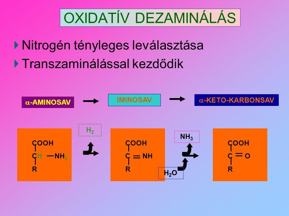 OXIDATÍV DEZAMINÁLÁS Nitrogén tényleges leválasztása Transzaminálással kezdődik  -AMINOSAV IMINOSAV  -KETO-KARBONSAV COOH CH NH 2 R COOH C NH R H2H2