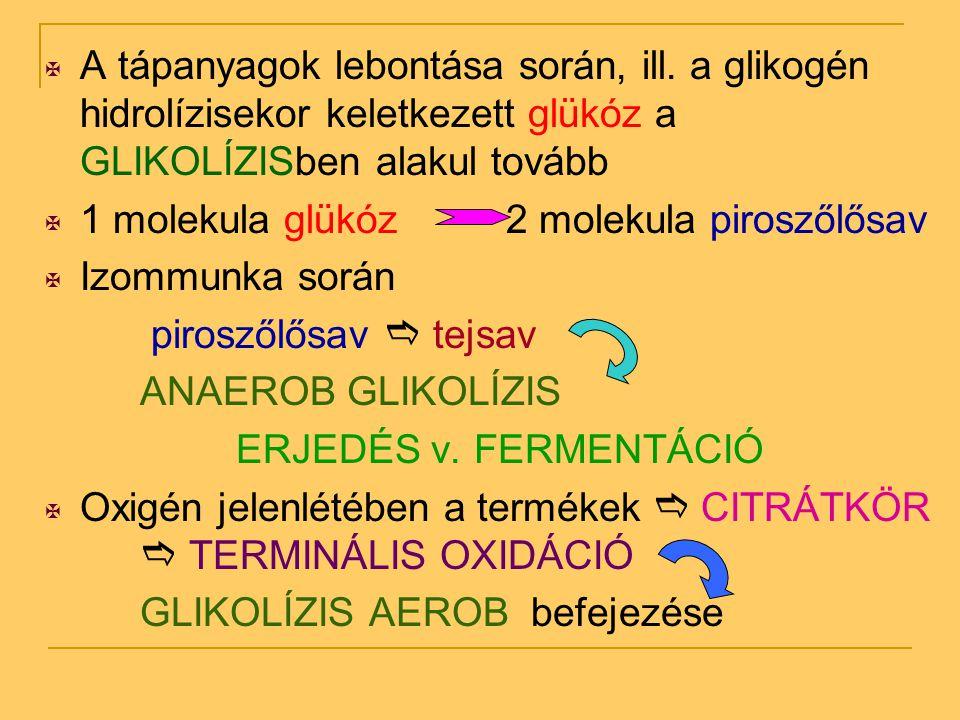  A tápanyagok lebontása során, ill. a glikogén hidrolízisekor keletkezett glükóz a GLIKOLÍZISben alakul tovább  1 molekula glükóz 2 molekula pirosző