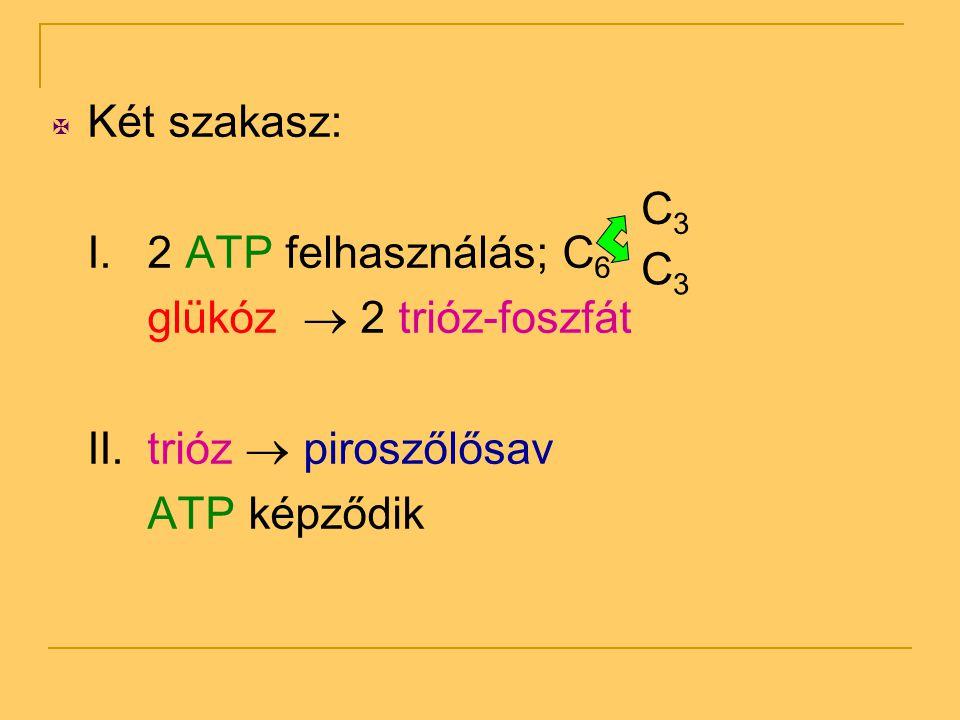  Két szakasz: I. 2 ATP felhasználás; C 6 glükóz  2 trióz-foszfát II.trióz  piroszőlősav ATP képződik C3C3 C3C3