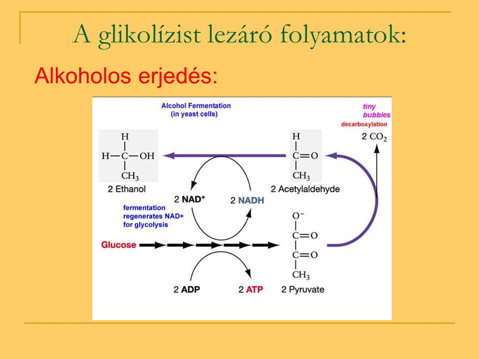A glikolízist lezáró folyamatok: Alkoholos erjedés: