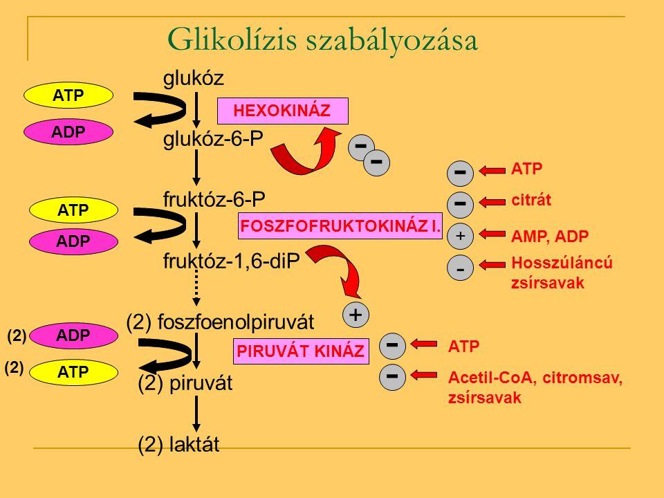 Glikolízis szabályozása glukóz glukóz-6-P fruktóz-6-P fruktóz-1,6-diP (2) foszfoenolpiruvát (2) piruvát (2) laktát ATP ADP HEXOKINÁZ ATP ADP ATP ADP (