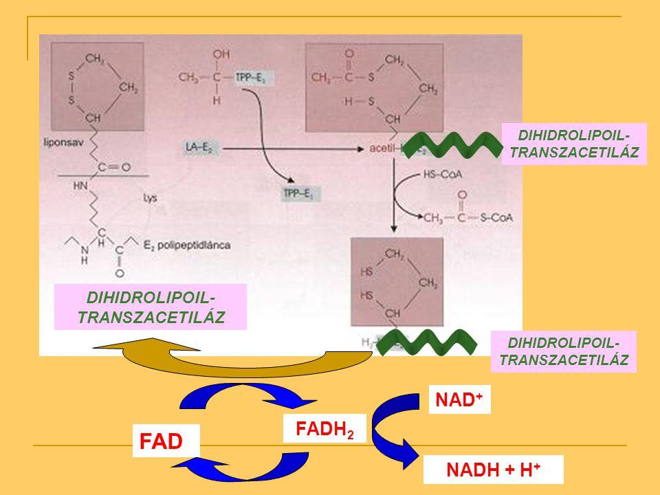 DIHIDROLIPOIL- TRANSZACETILÁZ FAD FADH 2 NAD + NADH + H +