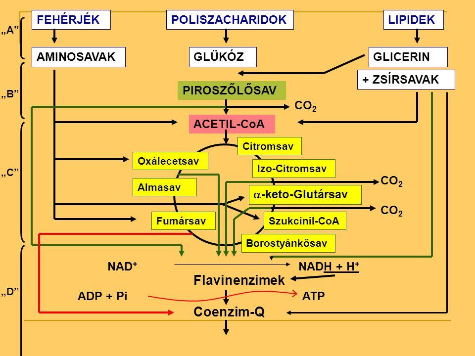 FEHÉRJÉKPOLISZACHARIDOKLIPIDEK AMINOSAVAKGLÜKÓZGLICERIN + ZSÍRSAVAK PIROSZŐLŐSAV CO 2 ACETIL-CoA Citromsav Izo-Citromsav  -keto-Glutársav CO 2 Szukci