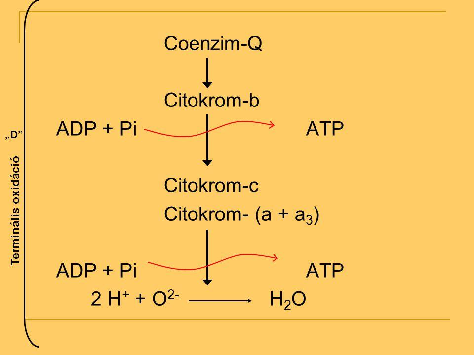 """Coenzim-Q Citokrom-b ADP + PiATP Citokrom-c Citokrom- (a + a 3 ) ADP + PiATP 2 H + + O 2- H 2 O """"D"""" Terminális oxidáció"""