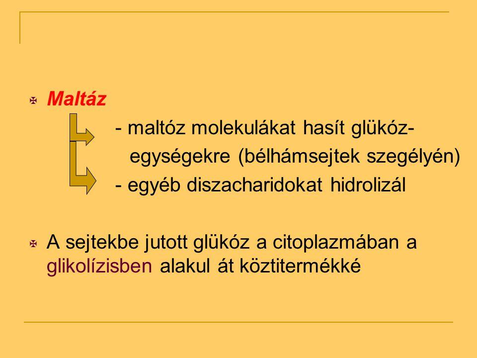  Maltáz - maltóz molekulákat hasít glükóz- egységekre (bélhámsejtek szegélyén) - egyéb diszacharidokat hidrolizál  A sejtekbe jutott glükóz a citopl