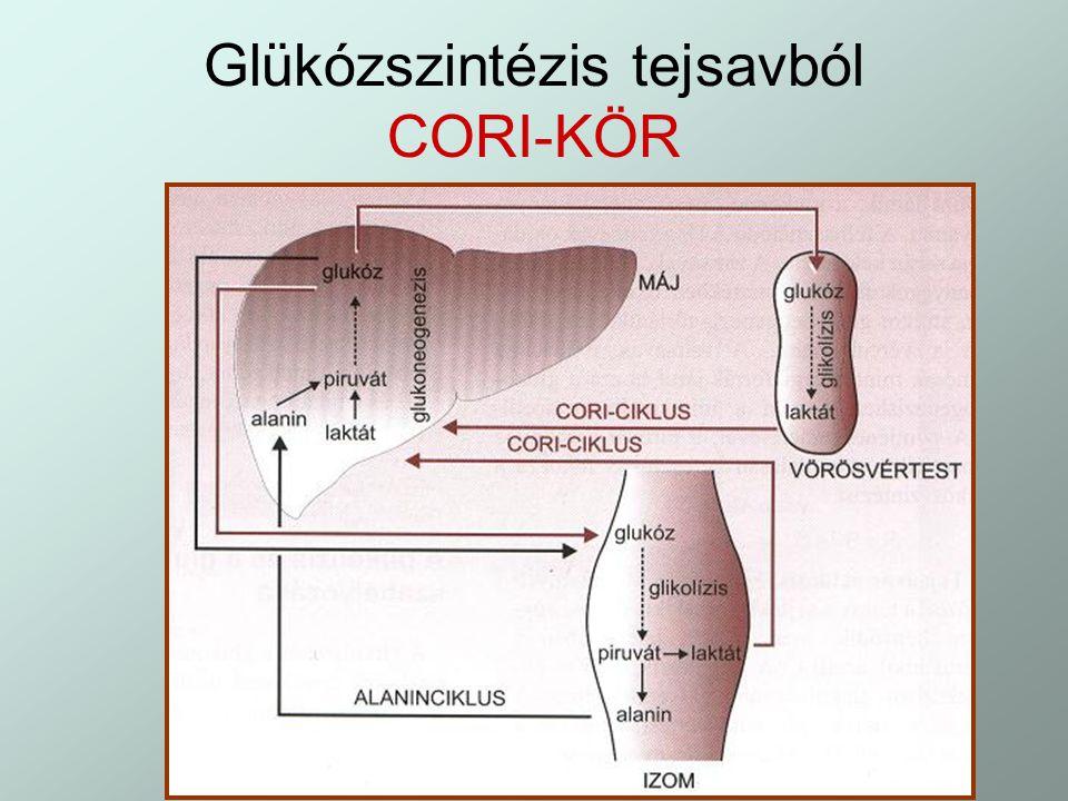 Glükózszintézis tejsavból CORI-KÖR