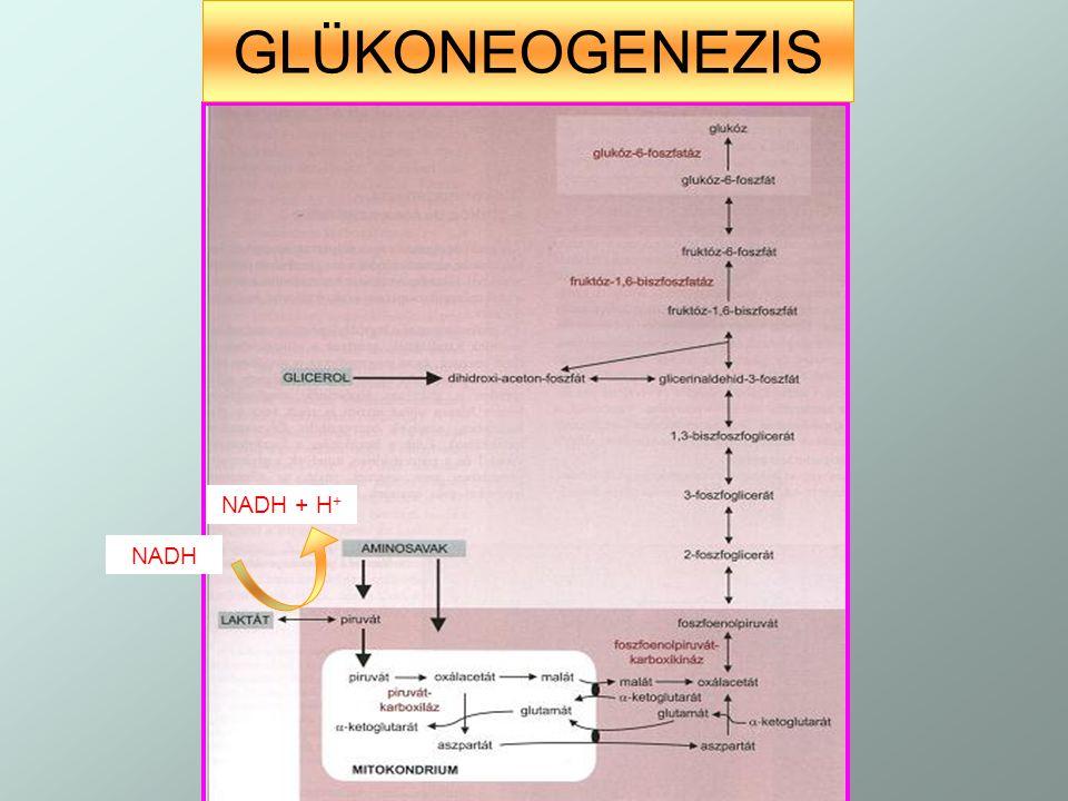 GLÜKONEOGENEZIS NADH NADH + H +