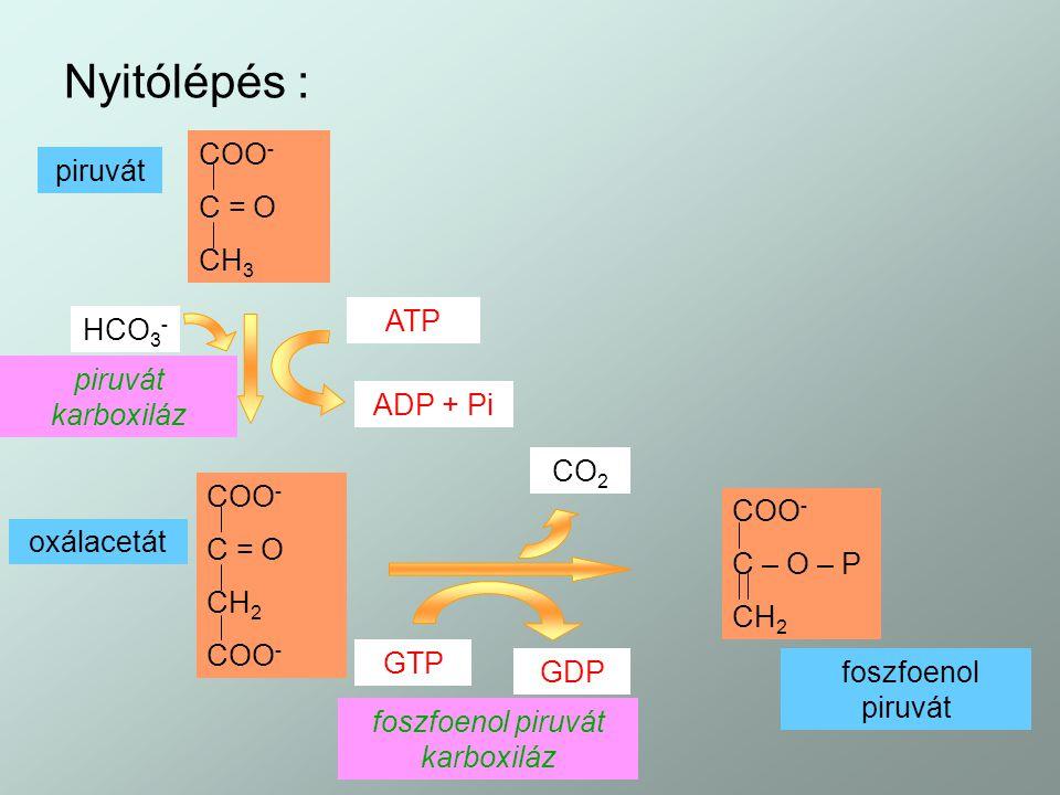 Nyitólépés : COO - C = O CH 3 piruvát HCO 3 - piruvát karboxiláz ATP ADP + Pi COO - C = O CH 2 COO - oxálacetát CO 2 GTP GDP foszfoenol piruvát karbox