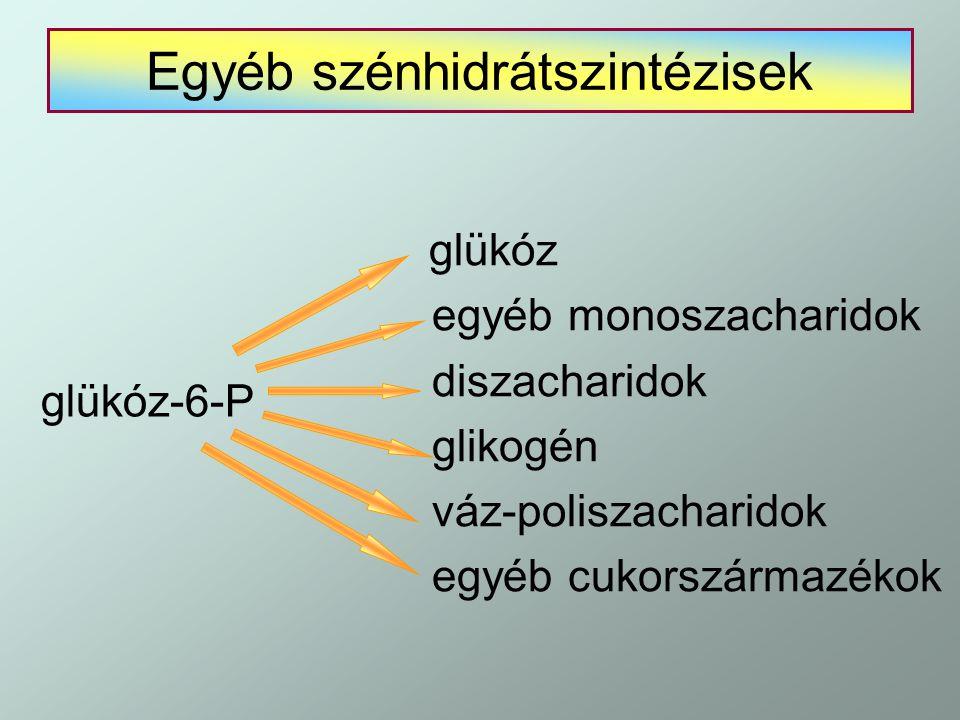 Egyéb szénhidrátszintézisek glükóz egyéb monoszacharidok diszacharidok glikogén váz-poliszacharidok egyéb cukorszármazékok glükóz-6-P