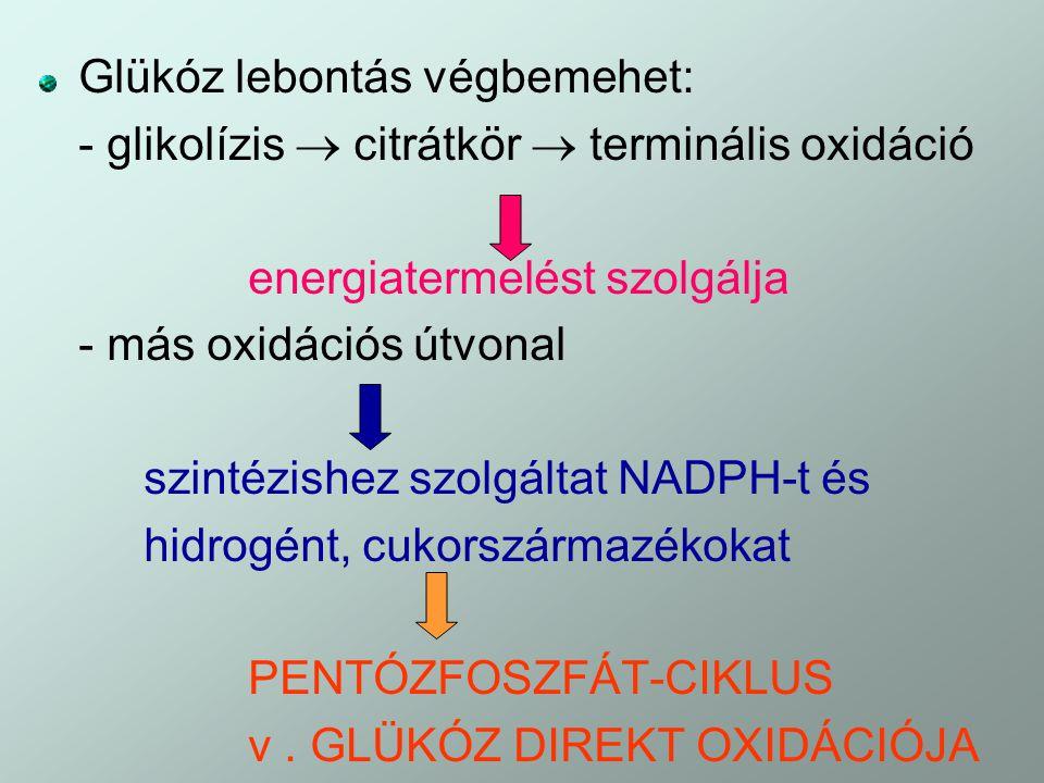 Glükóz lebontás végbemehet: - glikolízis  citrátkör  terminális oxidáció energiatermelést szolgálja - más oxidációs útvonal szintézishez szolgáltat