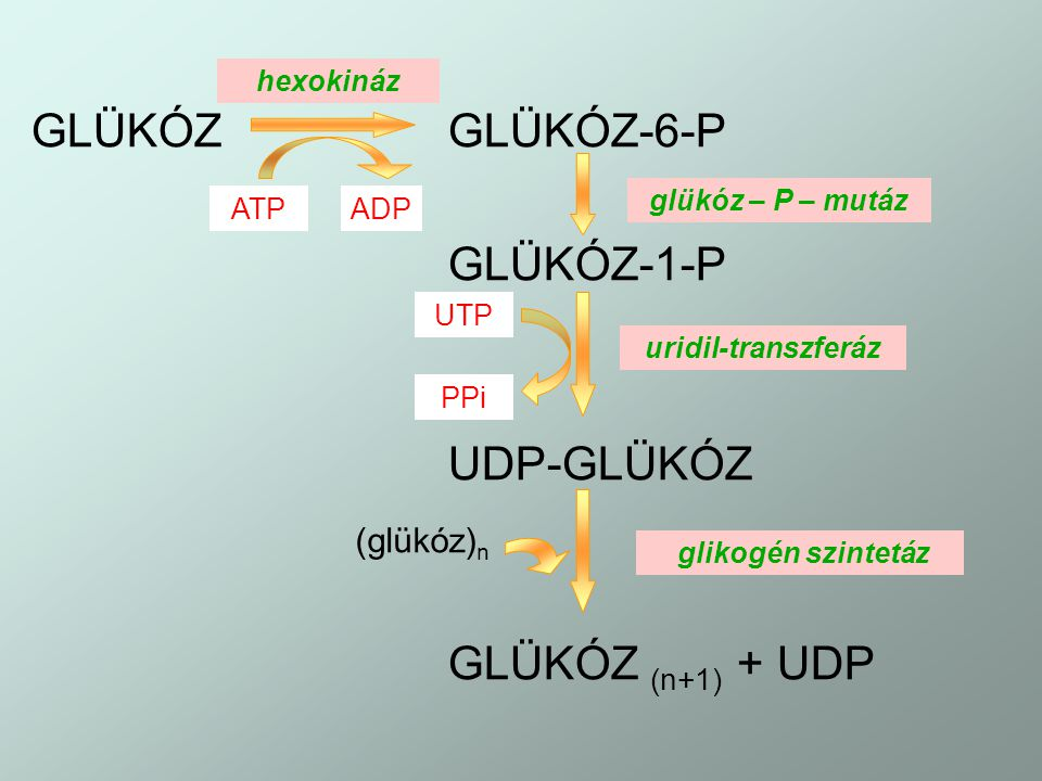 GLÜKÓZGLÜKÓZ-6-P GLÜKÓZ-1-P UDP-GLÜKÓZ GLÜKÓZ (n+1) + UDP hexokináz ATPADP glükóz – P – mutáz UTP PPi uridil-transzferáz glikogén szintetáz (glükóz) n