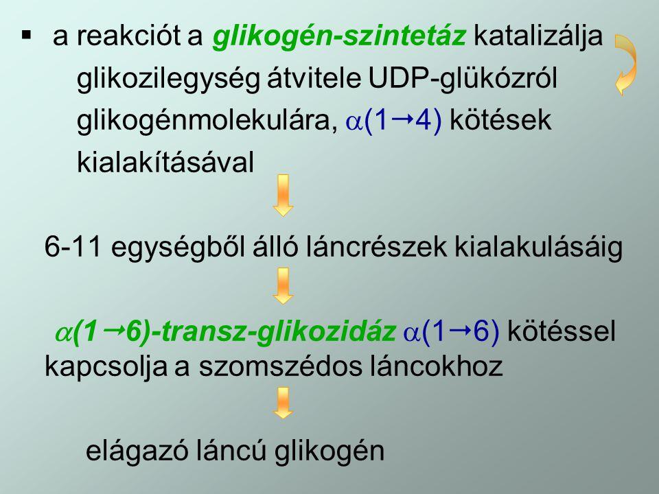  a reakciót a glikogén-szintetáz katalizálja glikozilegység átvitele UDP-glükózról glikogénmolekulára,  (1  4) kötések kialakításával 6-11 egységbő