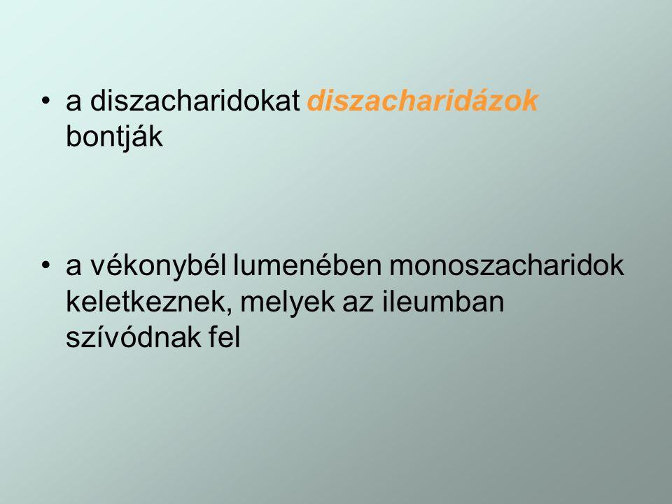 a diszacharidokat diszacharidázok bontják a vékonybél lumenében monoszacharidok keletkeznek, melyek az ileumban szívódnak fel