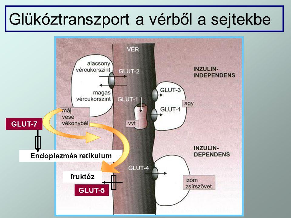 Glükóztranszport a vérből a sejtekbe Endoplazmás retikulum GLUT-7 fruktóz GLUT-5