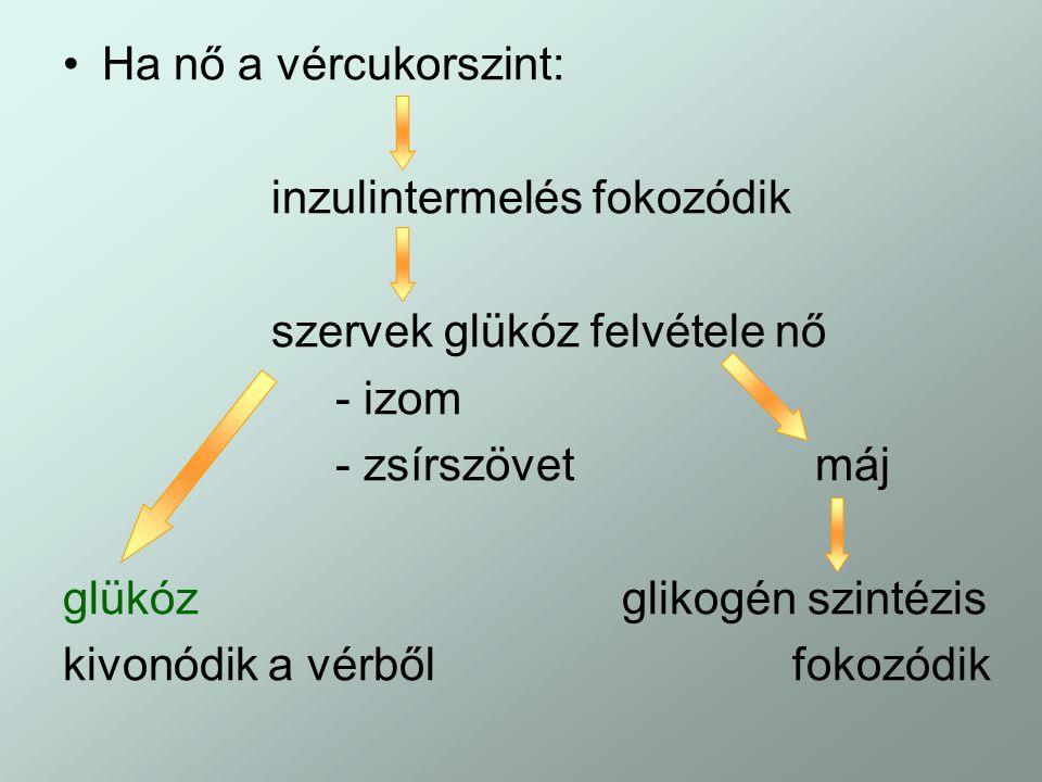 Ha nő a vércukorszint: inzulintermelés fokozódik szervek glükóz felvétele nő - izom - zsírszövet máj glükóz glikogén szintézis kivonódik a vérbőlfokoz