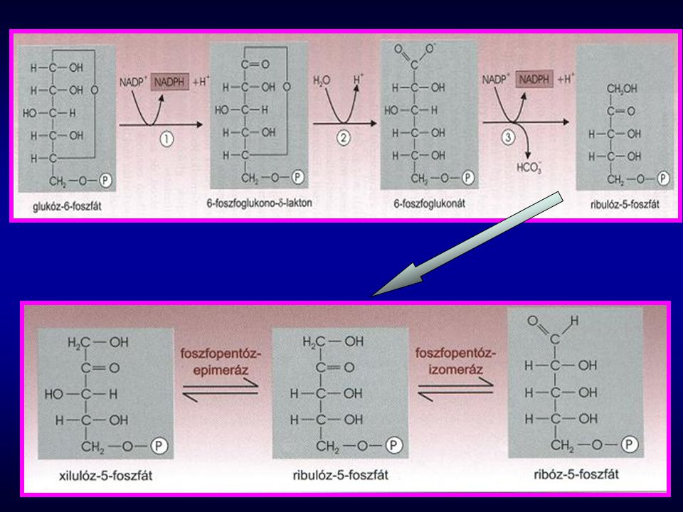 mobilizálja az izmok aminosav-tartalmát; fokozza a zsírok hidrolízisét; glicerinből is lehetőség nyílik a glükoneogenezisre inaktiválja a piruvát-kinázt az Ac-CoA molekulák nagy mennyisége alloszterikusan aktiválja a piruvát- karboxilázt a glikolízist gátolja, a glükoneogenezist serkenti katabolikus hatású